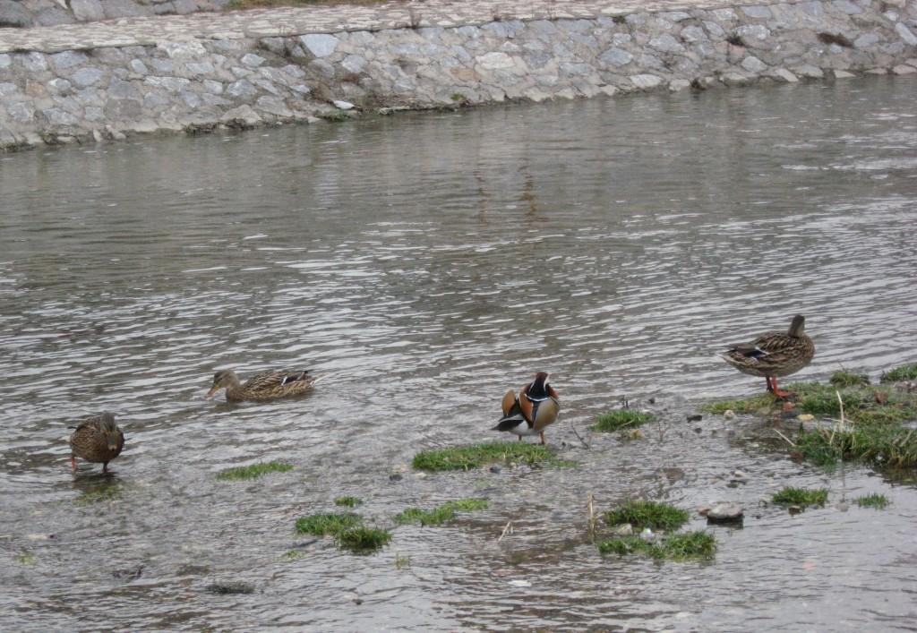 cetvrta slika patka