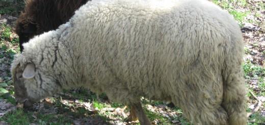 ovca-jedan