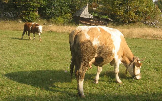 Podsticaj krave