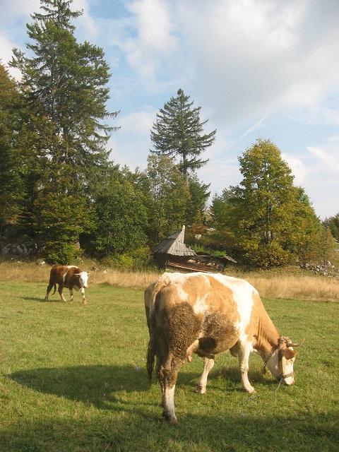 krave na tari